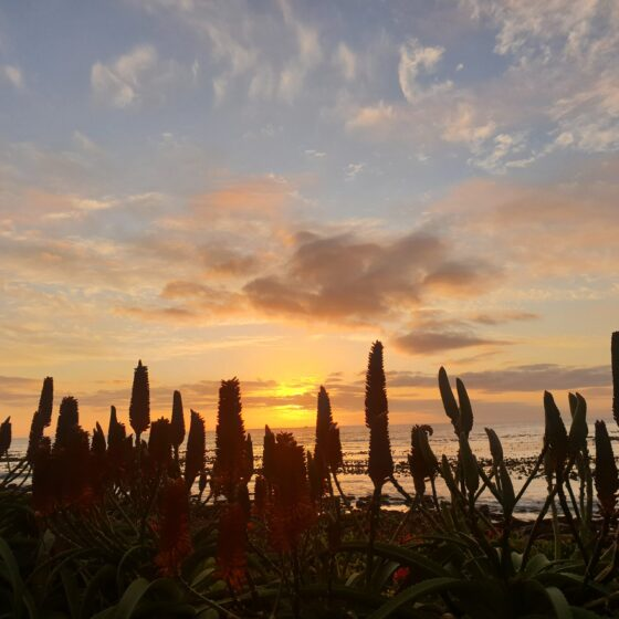 cropped pic of silhouette aloes at sunset