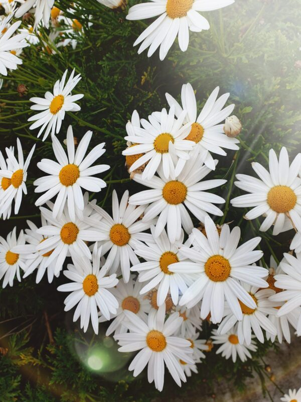 white petal yellow centre daisies