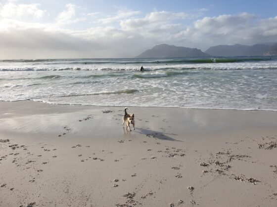 sand dog sea and surfers