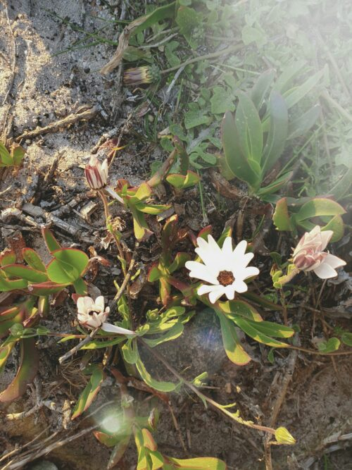 small daisy in coastal fynbos