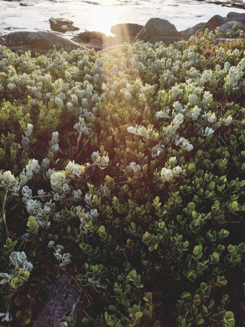 fynbos in the slanting sun rays