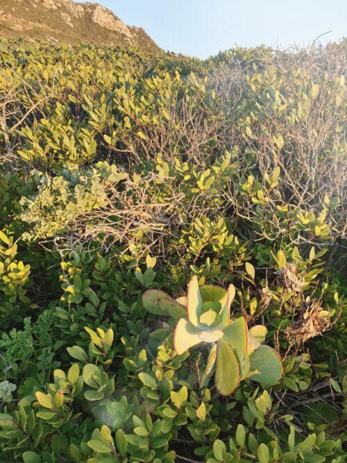 coastal fynbos
