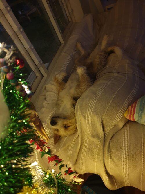 small dog fast asleep on her back beneath the Christmas tree