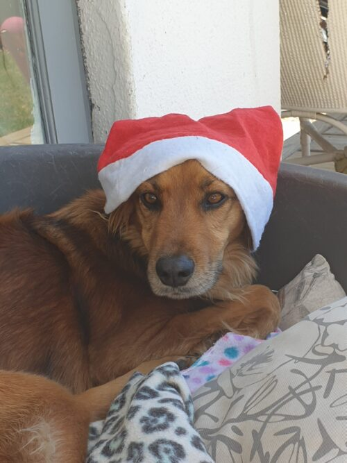 dear Timmy dog wearing his Christmas hat