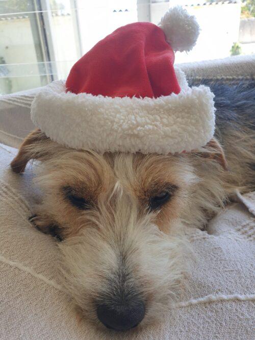 poor pooch wearing Christmas hat