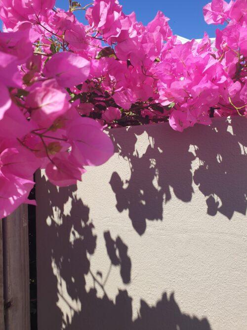 bright pink bougenvillia